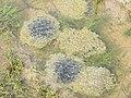 Grifft y Llyffant-Frog Spawn - geograph.org.uk - 352887.jpg