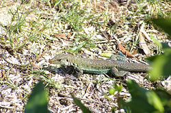 Griswolds Ameiva (6919927108).jpg