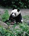 Großer Panda Bao Bao Berlin W 05.jpg