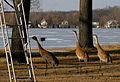 Grus canadensis -near Wamplers Lake, Springville, Michigan, USA -three-8.jpg