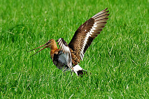 English: Displaying Black-tailed Godwit. Magya...