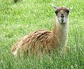 Guanaco at Louisville Zoo.jpg