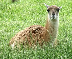 Lamini - Guanaco at Louisville Zoo