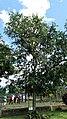 Guavebaum.jpg