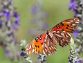 Gulf Fritillary in Flight 0574.jpg