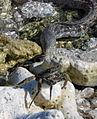 Gymnothorax pictus hunting crab 1.JPG