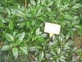 Gynura divaricata - Hong Kong Botanical Garden - IMG 9576.JPG