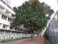 HK CWB 銅鑼灣道 Causeway Bay Road 皇仁書院 Queen's College school building facade 火龍徑 Fire Dragon Path evening Nov 2017 IX1 tree.jpg