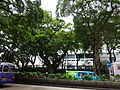 HK TST Nathan Road green Sidewalk Chinese Banyan trees Aug-2015 DSC (24).JPG