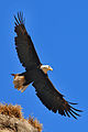 Haliaeetus leucocephalus -Protection Island National Wildlife Refuge, Jefferson County, Washington, USA-8.jpg