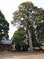 Hall and Quercus gilva of Yabu Hachiman Shrine.jpg