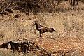 Hamirostra melanosternon -Australia-8.jpg