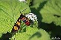 Handmaiden moth on Heliotropium indicum (Indian heliotrope) (40514135281).jpg