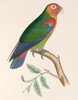 Hapalopsittaca amazonina 1849.jpg