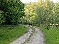 Harderbos - (Schotse Hooglander Bos taurus var. highland ).jpg