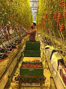 Harvesting digeponic tomatoes in Norway