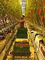 Harvesting digeponic tomtatoes in Norway.jpg