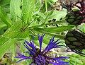 Harvestman, aphids, cornflower (20792542878).jpg