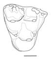 Hatcheritherium molar.png