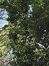 Hedera helix 20071021 3