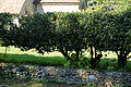 Hedge Saints Simon and Jude's Church Quendon Essex England.jpg