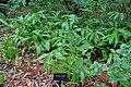 Hedychium coronarium - McKee Botanical Garden - Vero Beach, Florida - DSC03085.jpg