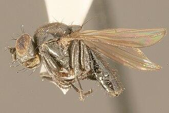 Helaeomyia petrolei - Image: Helaeomyia.petrolei. imago. .sbmnh