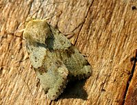 Heliothis viriplaca01.jpg