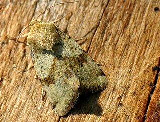 <i>Heliothis viriplaca</i> Species of moth