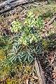 Helleborus foetidus in Causse de Limogne (5).jpg