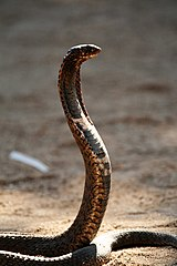 Southern African Spitting Cobra