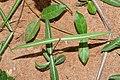Hemidesmus indicus 07444.jpg