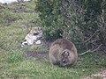 """Hermanus - Rock Hyrax or """"Dassie"""" - panoramio (3).jpg"""