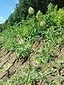 Hibiscus trionum sl36.jpg