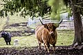 Highland cattle on peräisin Skotlannista. - panoramio (3).jpg