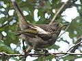 Hihi (Stitchbird).jpg