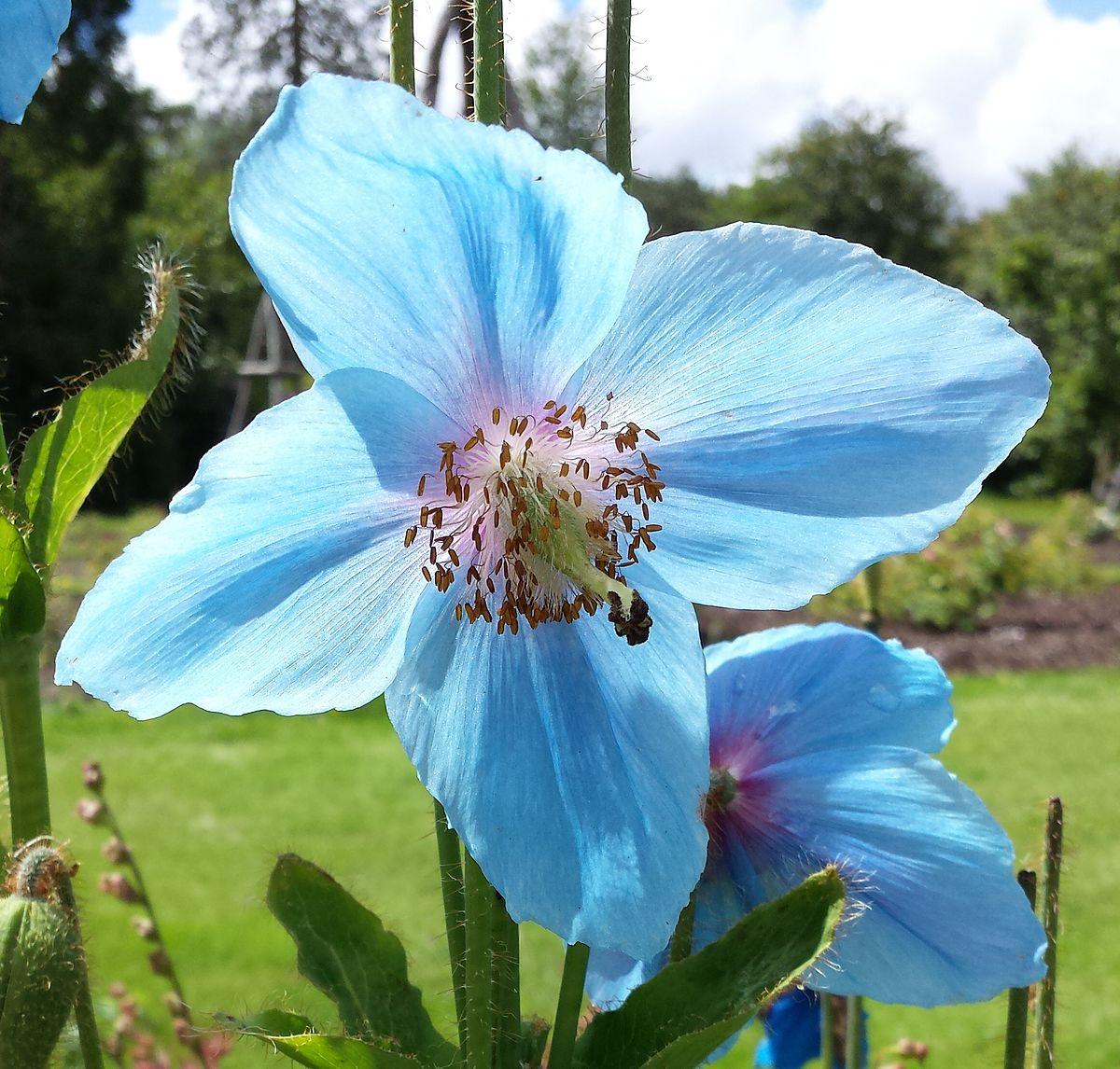Meconopsis Betonicifolia Wikipedia