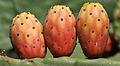 Hint inciri - Indian fig - Opuntia ficus-indica 02.JPG