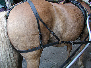 Breeching (tack) strap around the haunches of a draft, pack or riding animal
