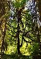 Hoh tree rain forest green cbubar 2015 (23048007276).jpg