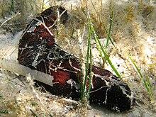 Olothuria sabbiosa (Holothuria poli), una delle specie più comuni di Mediterraneo.