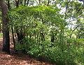 Homalanthus nutans.jpg