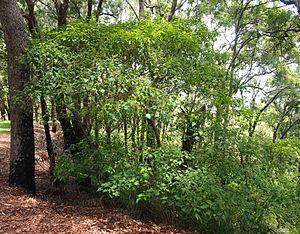 Homalanthus nutans - Image: Homalanthus nutans