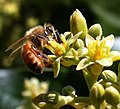 Honeybee (Apis mellifera) pollinating Avocado cv.jpg
