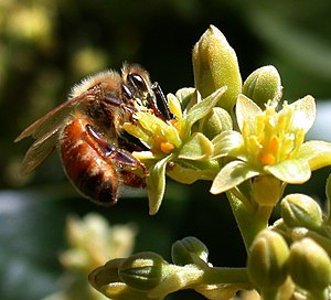 Honey bee (Apis mellifera) pollinating Avocado...