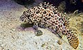 Honeycomb Grouper (Epinephelus merra) (8502593975).jpg
