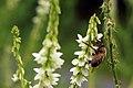 Honigbiene auf Honigklee (36028780336).jpg