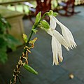 Hosta 'Royal Standard' Flower 1800px.jpg