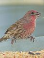 House Finch in California.jpg