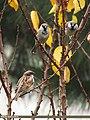 House Sparrow (Passer domesticus) (15274102353).jpg